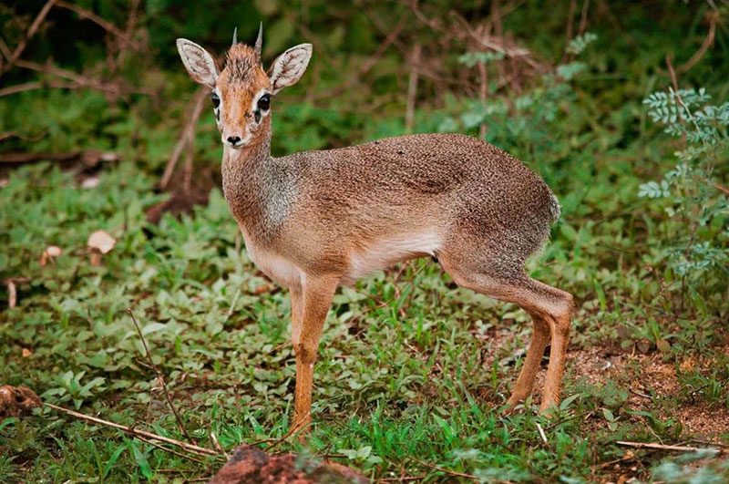Сафари в парках Танзании - Дик Дик