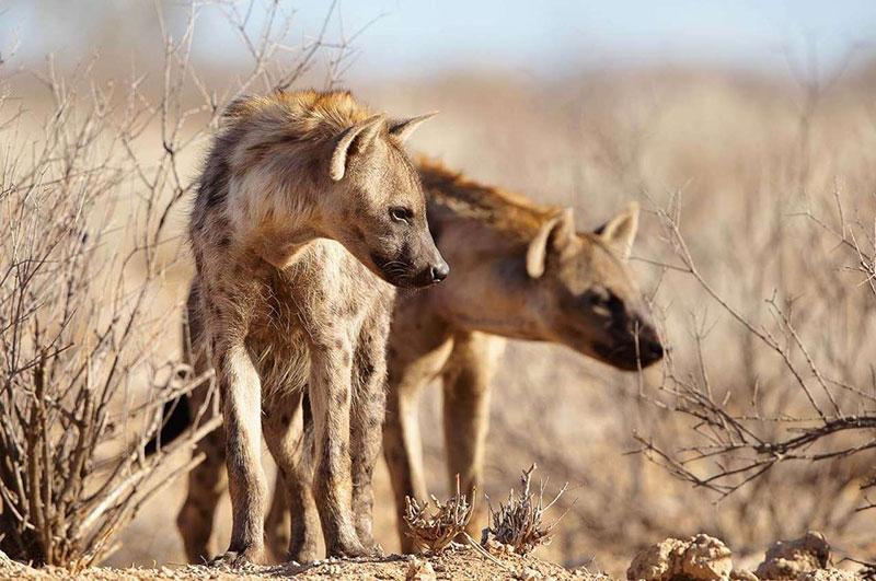 Сафари в парках северной танзании - Канна