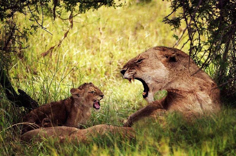 Сафари в парках Северной танзании - Геренук