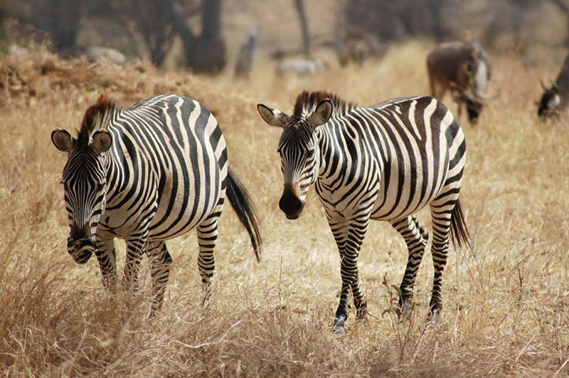 Сафари в парках северной танзании - Бушбок